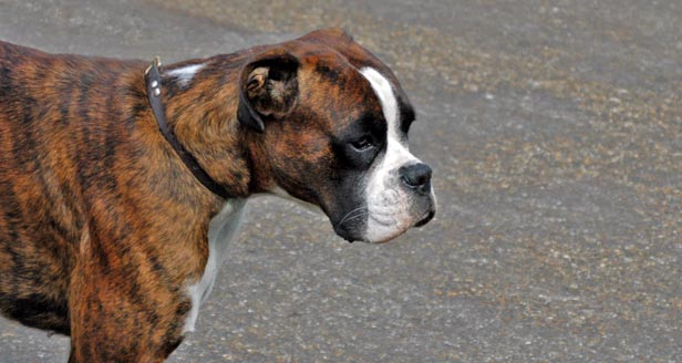 Cool boxer dog facts