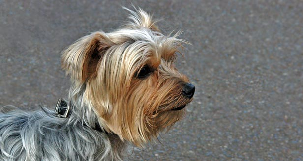 Did you Know? List of Interesting Facts about Silky Terriers