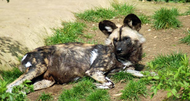 Interesting Facts about AFRICAN WILD DOGS ***