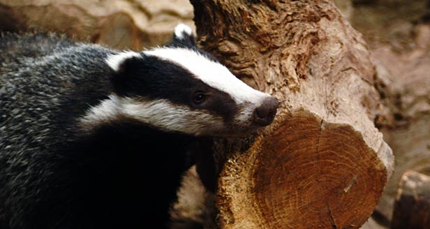 Interesting Facts about the BADGER ***