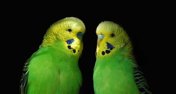 Budgie Parakeet Facts Facts About Parakeets