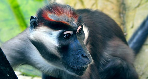 Cherry Crowned Mangabey Monkey