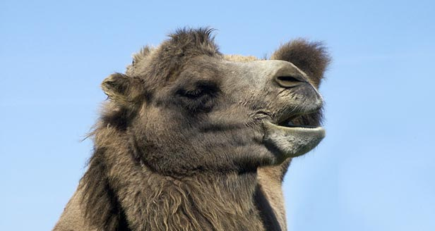 Interesting Facts about DROMEDARY CAMELS ***
