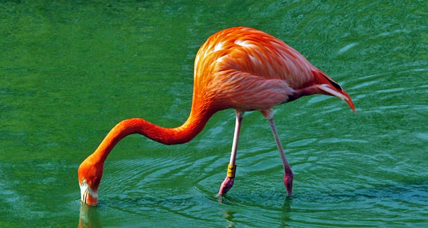 Flamingo Eating Fish