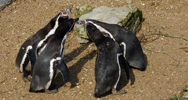 Interesting Facts about PENGUINS ***