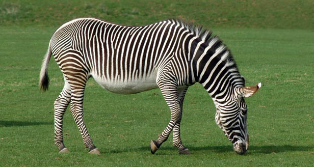 Interesting Facts about ZEBRAS ***