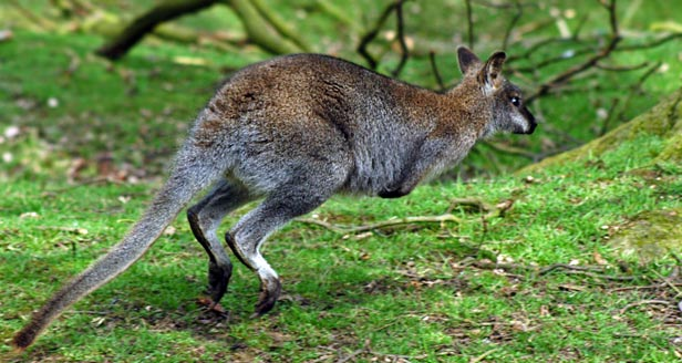Interesting Facts About The KANGAROO
