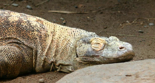 Interesting Facts about KOMODO DRAGON ***