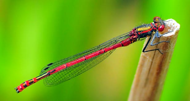 This Red Damselfly has four wings and so is not a true fly