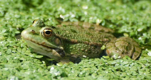 Interesting Facts about FROGS ***