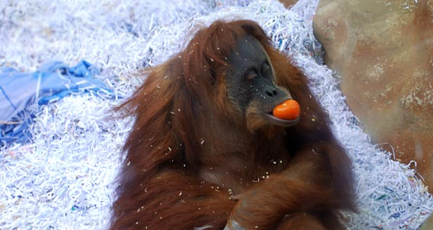 Interesting Facts about ORANGUTANS ***
