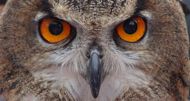 Interesting Facts about OWLS ***