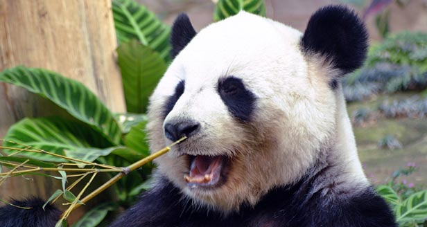 Interesting Facts about PANDA BEARS ***