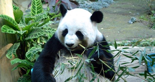 factsheet giant panda facts