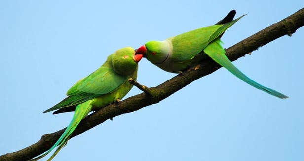 Budgie Parakeet Facts List of Facts About Parakeets