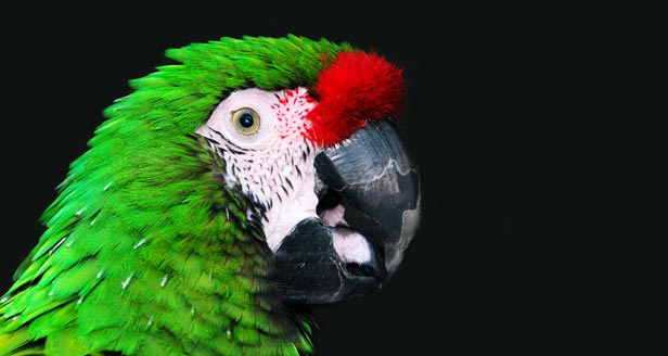 Millitary Macaw Parrot