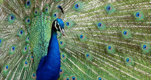 indian peacock information Indian peafowl pavo cristatus check out the full taxonomy and distribution of indian peafowl on hbw alive hbw alive contains information on descriptive notes , voice , habitat , food and feeding , breeding , movements , status and conservation plus a list of bibliographical references for this species account.