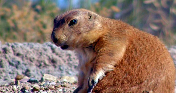 Interesting Facts About Prairie Dogs