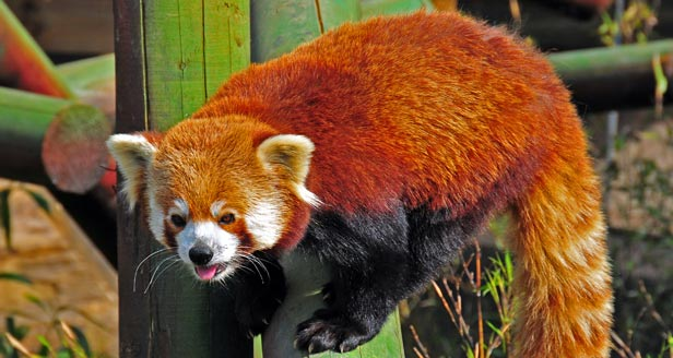Interesting Facts about RED PANDAS ***