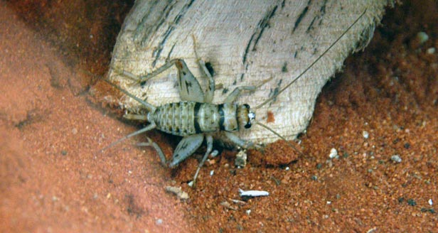 Tropical House Cricket