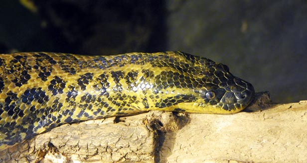 Yellow Anaconda Snake